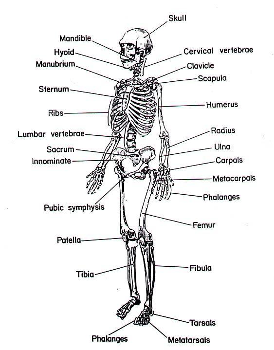 study-skeleton, Skeleton