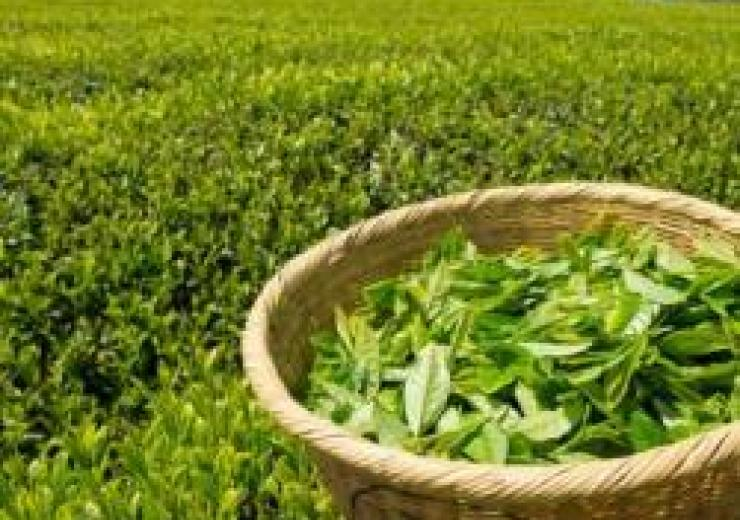 A basket of green tea leaves in a Japanese tea field