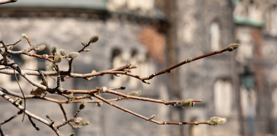 close up of a branch with U of T building in the background