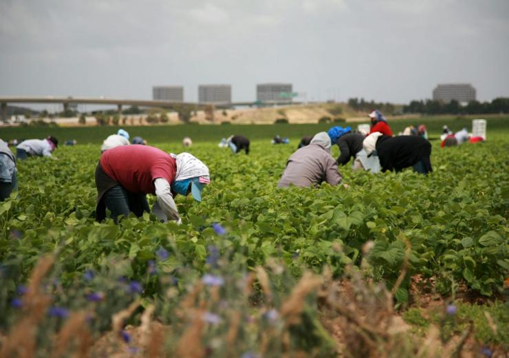 Migrant workers with face masks work in a field.