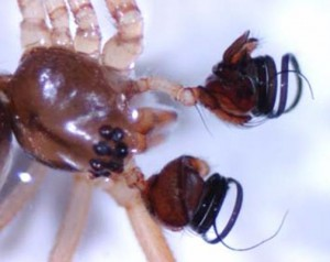 Palps and cephalothorax