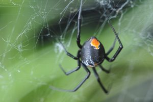 Female south american widow spider hangs in a web.
