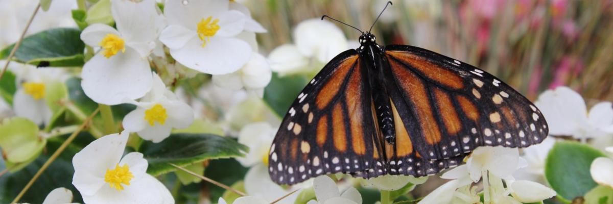 Butterfly resting on white flowers