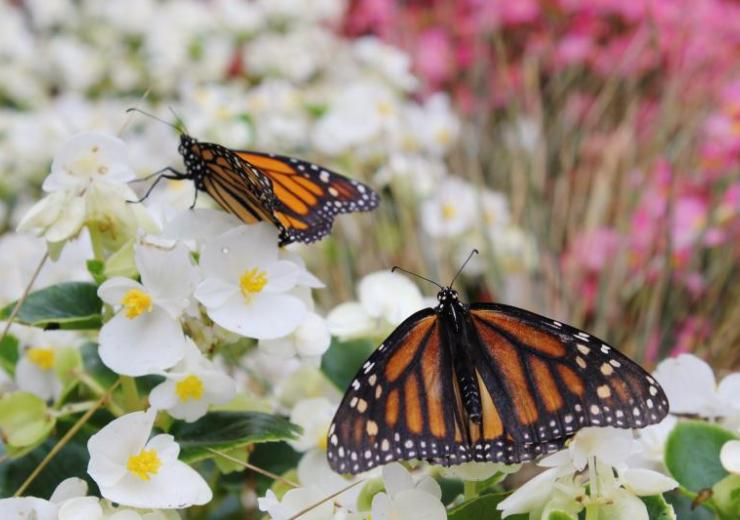 Butterflies resting on white flowers