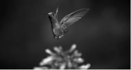 louie-schwartzberg-hummingbird